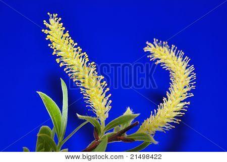 Willow Flower (salix)