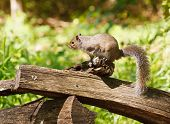 stock photo of split rail fence  - A gray squirrel perched on a split rail fence in the forest - JPG