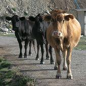 Постер, плакат: Две черные и один коричневый коров