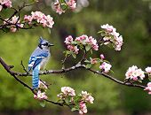 stock photo of blue jay  - a blejay sitting on a limb of a cherry blossom tree - JPG