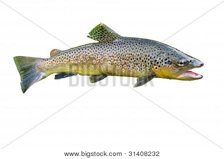 Common Trouts