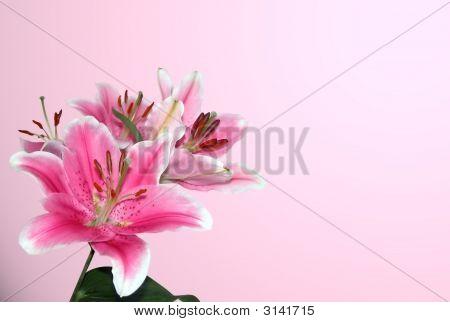 Stargaze Lily