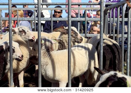 Young Black And White Lambs In A Metal Sheep Pen