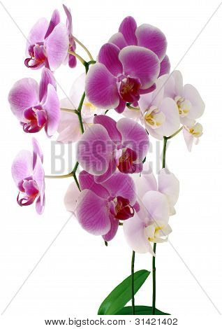 purple and pink orchids