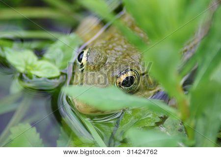 Frog hiding in pond