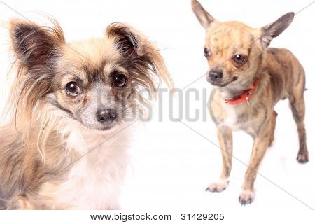 Longhaired Chihuahua