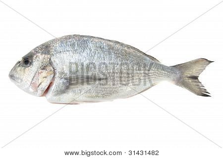 Dorada Seafood Isolated On White. Bream Fish.