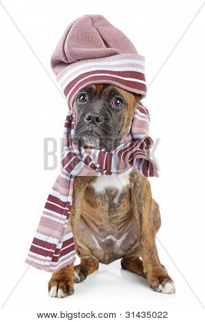 Germany Boxer Puppy In Warm Hat And Scarf