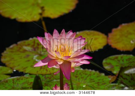 Rosa Water Lily Flower