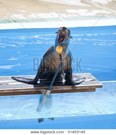 Sea lion singing