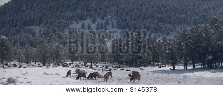 Elk Grazing In A Winter Forest
