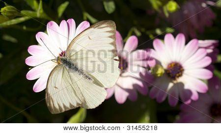 Butterfly Moth