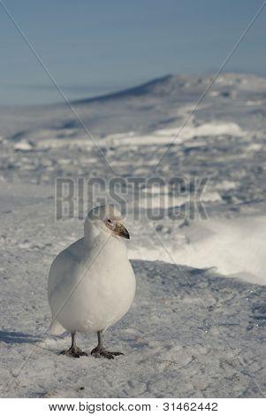 Snowy Sheathbill (chionis Albus)-1.