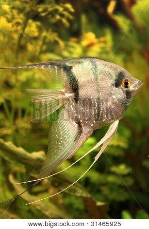 Peixe anjo