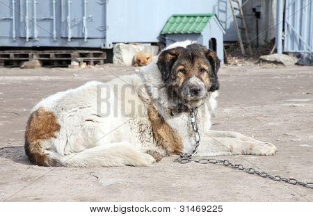 Aged Caucasian Shepherd Watchdog