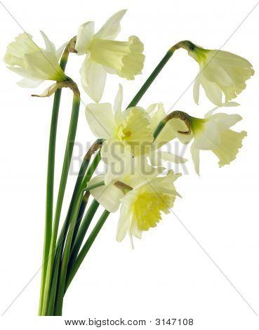 Yellow Daffodils Posy