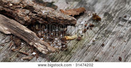 Wood Grub