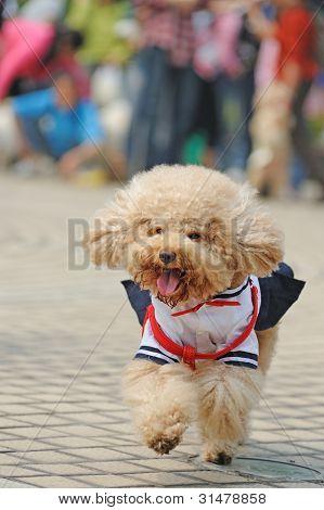 Poodle Dog Running