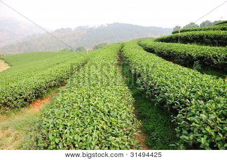 Grüner Tee-Plantage