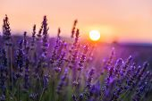 Lavender Flowers At Sunset In Provence, France. Macro Image, Shallow Depth Of Field poster