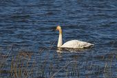 stock photo of trumpeter swan  - Trumpeter Swan at the coast of Vancouver - JPG