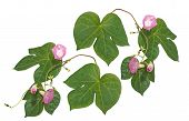 foto of ipomoea  - pink ipomoea from grup of decorative garden lianas - JPG