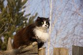 Graceful Furry Cat Proudly Sitting On The Fence Looking Forward. Black Cat Without Tail With A Long  poster