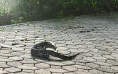 Water Monitor Lizard Or Varanus Salvator Walking On Footpath In Park poster