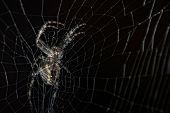 Spider In A Black Background. Spider On Web A Macro Wildlife Background. Macro Spider On A Black Bac poster