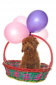 picture of parti poodle  - Dog in basket under balloons isolated on white - JPG