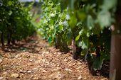 Closeup Panoramic Shot Of Rows Summer Vineyard Scenic Landscape, Plantation, Beautiful Wine Grape Vi poster