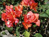 Image Of Jasmine Flower In Bloom. Red Jasmine Flower. Summer Jasmine Flowers In Indonesia. Orange Ja poster