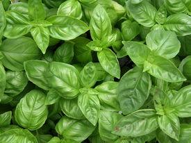 stock photo of basil leaves  - Fresh green basil - JPG