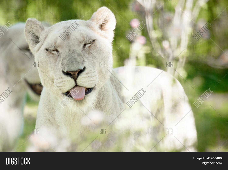 Спасибо что ты есть белая львица