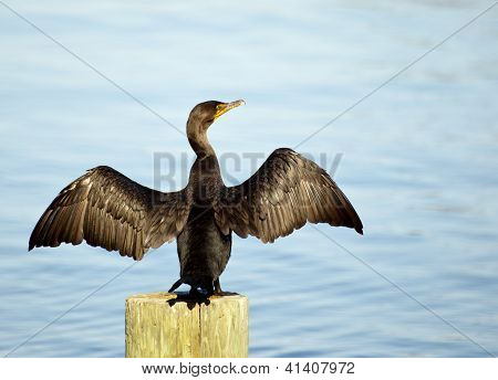 Great Cormorant Spreadings Its Wings