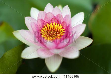 Aquatic lotus