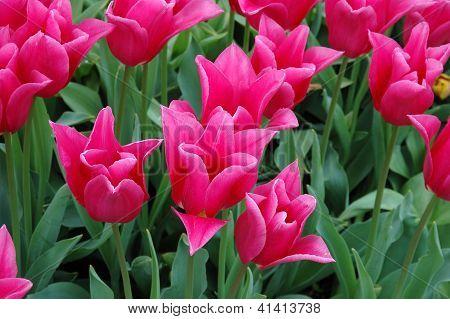 China Pink Tulip