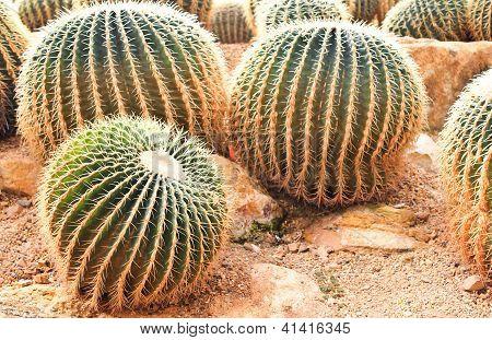 Echinocactus Grusonii Hildm Cactaceae