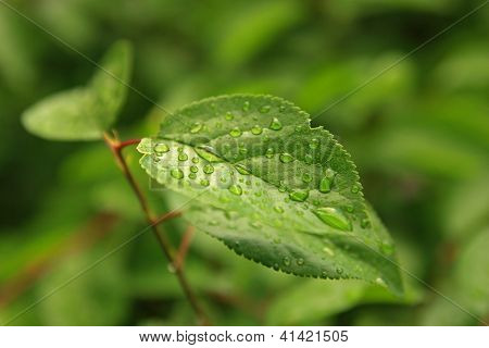 Green Tree Leaf With Rain Drops