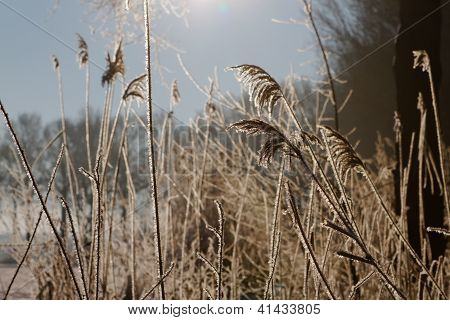 Frosty Reed