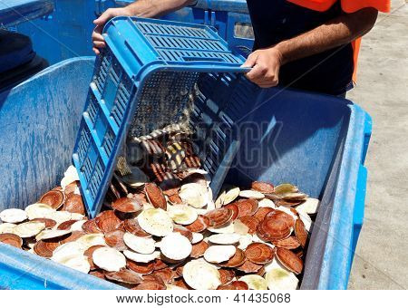 Seafood - Fresh Scallops.