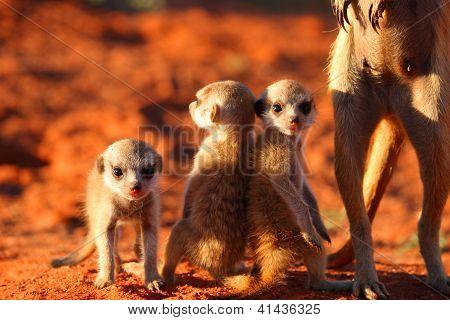 Meerkat or Suricate Pups