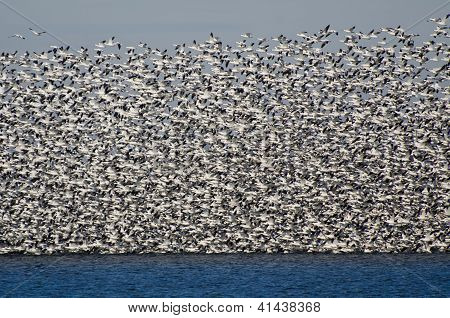 Massive Flock Of Snow Geese Taking Flight