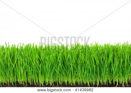 Green  Grass with Fertile Soil and Drops Dew / isolated on white with copy space