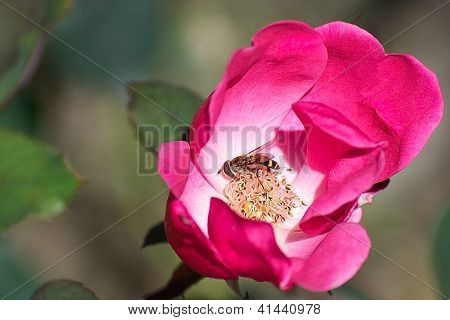 Insect Pollinating Inside of Pink Rose