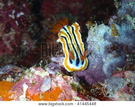 Chromodoris lineatus (Chromodoris strigata)