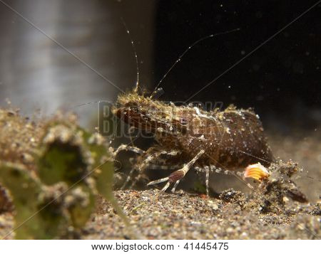 Marbled shrimp (Saron sp.)