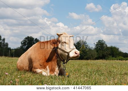 Cow resting in a pasture