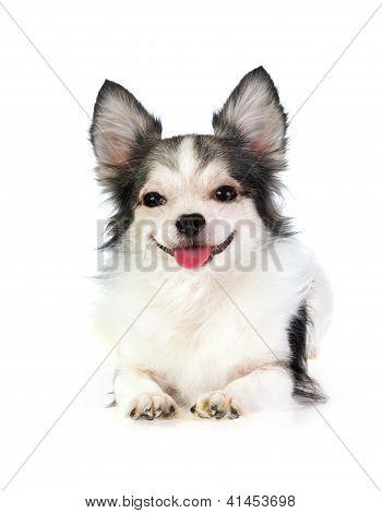 Sorrindo muito revestido Chihuahua