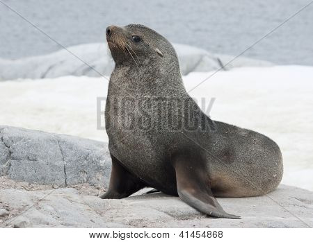 Male Fur Seal Sitting On A Rock On The Coast.